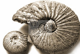 fossilized ammonite on white background