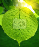green leaf of linden tree glowing in sunlight