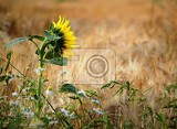 Fotografia one sunflower turned into a ripening cornfield