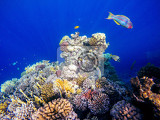 Photo coral and fish in the red sea in front is klunzingers wrasse thalassoma rueppelliialso known as lunatetailed wrasses in background coral garden and blue sea with other coral fish safaga egypt