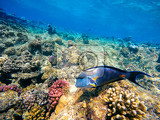 coral and fish in the red sea in front is red sea surgeonfish in background coral garden and blue sea with other coral fish safaga egypt