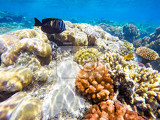 Photo coral and fish in the red sea in front stripped butterfly fish in background coral garden and sea with other coral fish safaga egypt
