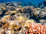 coral and fish in the red sea in front stripped butterfly fish in background coral garden and sea with other coral fish safaga egypt