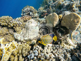 coral and fish in the red sea in front butterfly fish in background coral garden and sea with other coral fish safaga egypt