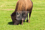 herd of american bison bison bison also commonly known as the american buffalo or simply buffalo grazzing on green grassland