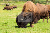 Photo herd of american bison bison bison also commonly known as the american buffalo or simply buffalo grazzing on green grassland