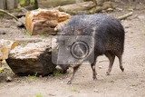 Fotografie chacoan peccary catagonus wagneri also known as the tagua it can be found in the gran chaco of paraguay bolivia and argentina