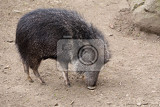 Photo chacoan peccary catagonus wagneri also known as the tagua it can be found in the gran chaco of paraguay bolivia and argentina