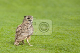 Fotografia eurasian eagle owl bubo bubo big bird on green grass