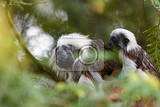 cotton top tamarin family female with small baby  sitting on a tree branch with a green blurred background