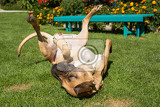 female of fila brasileiro brazilian mastiff playing outdoor on green grass on flowering garden fila is large working breed of dog developed in brazil