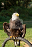 bald eagle haliaeetus leucocephalus is a north american bird of prey in captivity falconry bird trained for hunting