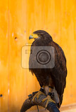Fotografia the harriss hawk or harris hawk parabuteo unicinctus formerly known as the baywinged hawk or dusky hawk in captivity falconry bird trained for hunting