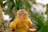 angry golden lion tamarin leontopithecus rosalia perched on log