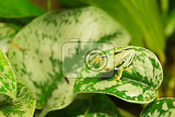 redeyed tree frog agalychnis callidryas animal with big red eyes masked on green leaves beautiful exotic animal from central america