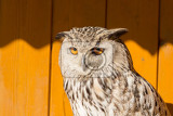 Photo eurasian eagle owl bubo bubo in captivity falconry bird trained for hunting