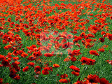 Field of blossoming red poppies