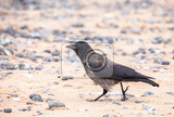 Fotografie alone carrion crow on the beach island helgoland north sea germany