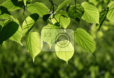 fresh green leaves of linden tree glowing in sunlight