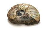 fossilized ammonite isolated on white