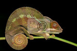panther chameleon furcifer pardalis in rainforest at farankaraina tropical park madagascar wildlife nocturnal photo