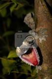 Fotografia giant leaftail gecko uroplatus fimbriatus nosy mangabe park reserve madagascar angry gecko with opened mouth showing his red tongue as defense against the enemy endemic animalmadagascar wildlife