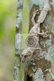 Fotografia perfectly masked mossy leaftailed gecko uroplatus sikorae species of gecko with the ability to change its skin color to match its surroundings andasibe national park analamazaotra madagascar wildlife