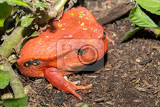 big red tomato frog species of genus dyscophus dyscophus antongilii it can be found in maroansetra city ditch when threatened a tomato frog puffs up its body madagascar wildlife