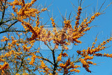 Fotografie unharvester sea buckthorn tree closeup hippophae rhamnoides typical for this plant is a high content of vitamin c winter scene