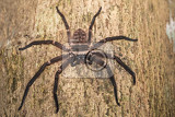 Fotografie big huntsman spider on tree trunk huntsman spider is members of the family sparassidae formerly heteropodidae masoala national park toamasina province madagascar wildlife and wilderness