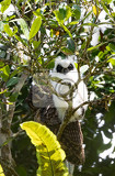 madagascar bird longeared owl with chick asio madagascariensis andasibe national park madagascar wildlife and wilderness