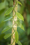 closeup of the vanilla spice plant hanged on tree masoala natural reserve madagascar