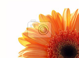 closeup of gerber daisy flower on white