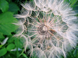 Fotografia closeup of giant dandelion