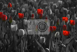 Fényképek red tulips in black and white background