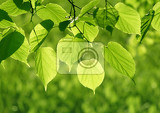 closeup of fresh green leaves glowing in sunlight