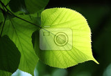 Photo fresh green leaf of linden tree glowing in sunlight