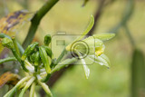 closeup of beautiful vanilla spice plant flower in bloom masoala natural reserve madagascar