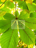 branch of chestnut tree autumn background