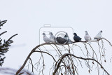 group of domestic pigeons sitting on the branch covered by snow in winter garden