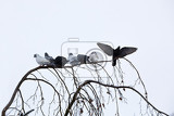 Fotografia group of domestic pigeons sitting on the branch covered by snow in winter garden