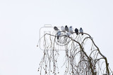 Fotografie group of domestic pigeons sitting on the branch covered by snow in winter garden