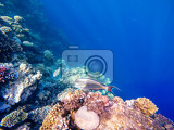 coral and fish in the red sea in front is red sea surgeonfish in background coral garden and blue sea with other coral fish egypt