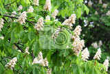 branches of blossoming chestnut tree with white flowers