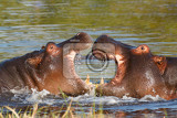 young males of hippopotamus hippopotamus amphibius rehearse fray and figting with open mouth and showing tusk moremi game reserve okavango delta botswana africa safari wildlife and wilderness