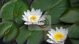 blooming white water lilies lotus closeup