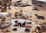 Fotografia collection of of brown fur seal  sea lions cape cross namibia africa safari wildlife and wilderness nature collage