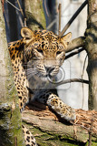 Photo cejlon sri lankan leopard panthera pardus kotiya sri lankan leopard was listed as endangered on the iucn red list