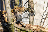 Fotografie cejlon sri lankan leopard panthera pardus kotiya sri lankan leopard was listed as endangered on the iucn red list