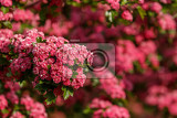 Fotografie pink flowers hawthorn tree  crataegus laevigataspring natural background flowering tree in pink springtime season